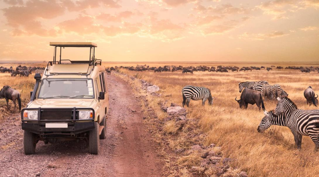 Zebras and buffalo continue grazing as Projects Abroad traveller pass them in the Tanzanian savannah